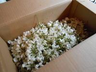アカシアの花とブドウの若芽の天ぷら。季節の恵みです。 - のび丸亭の「奥様ごはんですよ」