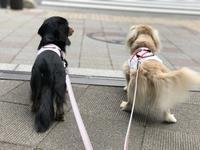 17年6月6日 今日のおやつは石焼き芋(笑) - 旅行犬 さくら 桃子 あんず 日記
