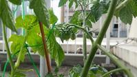 ゴーヤとミニトマト栽培③ - オヤコベントウ