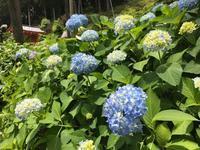 今日の三室戸寺 あじさい - 【飴屋通信】 京都の飴工房「岩井製菓」のブログ