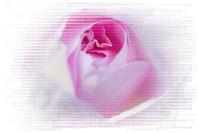 バラ 10(PhotoShop ) - 光 塗人 の デジタル フォト グラフィック アート (DIGITAL PHOTOGRAPHIC ARTWORKS)