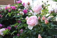 優しい花☆ヘリテージとジ オルブライトン ランブラー - my small garden~sugar plum~
