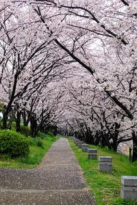京都の桜2017 雨上がりの木津川堤 - 花景色-K.W.C. PhotoBlog