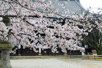 京都の桜2017 雨の真如堂 - 花景色-K.W.C. PhotoBlog