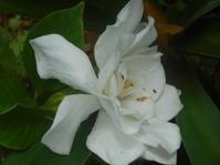 梅雨らしくないよ。大輪のくちなしの花。 - 沖縄山城紅茶 茶摘み日記
