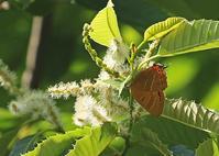 地元のゼフィルス3種 - 公園昆虫記