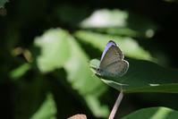 翅表が眩しいルリシジミ - 蝶超天国