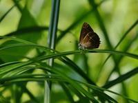 千葉の公園のミドリシジミ - 不思議の森の迷い人
