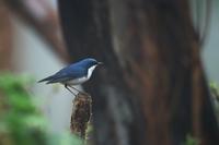 霧の中のコルリ 後編 - 瑞穂の国の野鳥たち