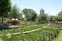 東京下町は花菖蒲が見頃を迎えました(足立区、しょうぶ沼公園) - 旅プラスの日記