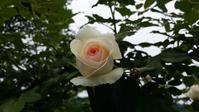 バラの季節の始まり始まり♪ - 今から・花