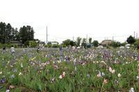 【番外編】矢巾・ジャーマンアイリスの里 - 長岡・夢いっぱい公園
