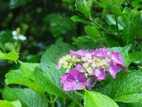 紫陽花 - 南風のデジタル写真日記
