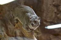 上野動物園・小獣館の動物たち:オリイオオコウモリとハダカデバネズミの赤ちゃん(2016.4~6) - 続々・動物園ありマス。