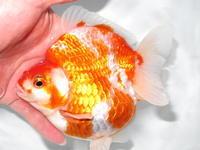 開店17周年のご挨拶 - フルタニ金魚倶楽部blog