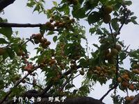 神谷さんの梅収穫と「第三回 梅子と始める梅仕事♪」講座について - 手作り弁当 野風