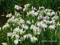 花菖蒲園で開花している品種別開花の様子です。(その2-B) - デジカメ散歩悠々