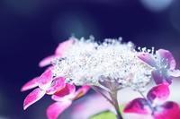 母の紫陽花 - 「美は観る者の眼の中にある」