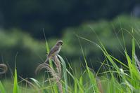 オオヨシキリ - ごっちの鳥日記
