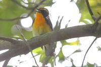 ムクドリ幼鳥 - 野鳥写真日記 自分用アーカイブズ