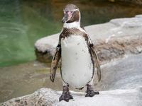 ペンギンのジェットストリームアタック!! - 思い出に変わる日々