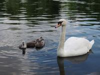 もっふもふの白鳥の赤ちゃん Baby boom in Hyde Park - Chakomonkey Everyday in London