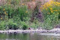 アカガシラサギ - Sakuの野鳥フォトアルバム