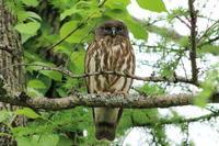 再び アオバズク &ツツドリ  - 今日の鳥さんⅡ