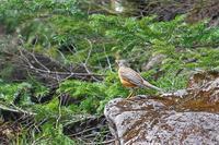 白駒(苔の森)にて:アカハラ.ルリビタキ - 武蔵野の野鳥