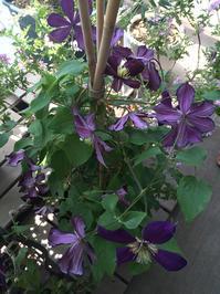 クレマチス - kukka kukka