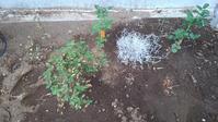 ミニバラ植え替え - うちの庭の備忘録 green's garden
