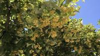 菩提樹 の 花 - 《 磯 良 の 海 》