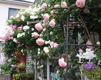 今年の薔薇 - 夢子さんのミシン