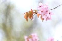 山桜2 - like a rabbit ~ なんとなく、lonely?