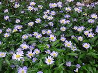 お庭の花がきれいです - 漆器もある生活