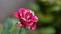 この花はワタクシです - 空のむこうに ~自転車徒然 ほんのりと~
