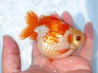 6月8日新着金魚のご紹介です。 - フルタニ金魚倶楽部blog