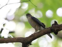 ツミ - 『彩の国ピンボケ野鳥写真館』