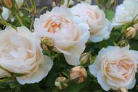 白薔薇2種*ウィンダーメアとグラミスキャッスル - my small garden~sugar plum~