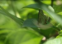 他所のゼフィルス オオミドリとウラゴマダラ - 公園昆虫記