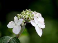 ヤマアジサイの咲く頃・・・ - 自然がいっぱい3