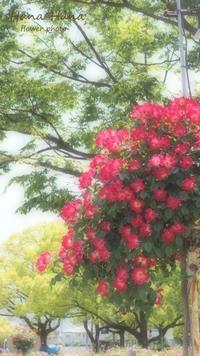 *薔薇* - HANA*HANA