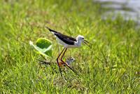 セイタカシギ、再び - ずっこけ鳥撮り日記