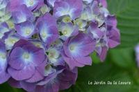 紫陽花が咲き、梅雨入り - 酵母の庭