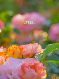 薔薇の残り香 VOL.04 - 君に届け