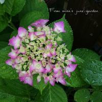 我が家の紫陽花 - misaの庭暮らし~Abandon~
