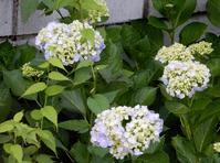「紫陽花」開花・・・ - 【出逢いの花々】