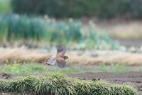 チョウゲンボウの子育て7 貯蔵 - 気まぐれ野鳥写真