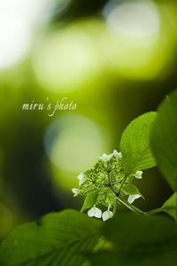 ウラ紫陽花。 - MIRU'S PHOTO