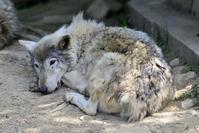 2017.6.3 群馬サファリパーク☆シンリンオオカミのゼットンとサクラ【Shin phosphorus wolf】 - 青空に浮かぶ月を眺めながら